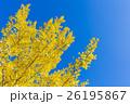 銀杏 葉 黄葉の写真 26195867