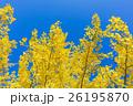 銀杏 葉 黄葉の写真 26195870