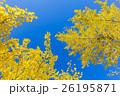 銀杏 葉 黄葉の写真 26195871