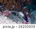 海水魚 魚 アケボノハゼの写真 26203939