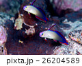 海水魚 魚 アケボノハゼの写真 26204589