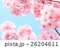 桜 26204611