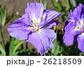 菖蒲 花 植物の写真 26218509