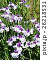 菖蒲 花 植物の写真 26218531