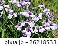 菖蒲 花 植物の写真 26218533