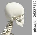 骨格 骨 髑髏のイラスト 26227349