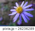 大輪の花 26236289