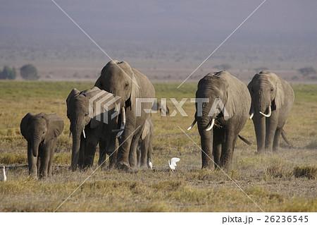 アフリカゾウ 26236545
