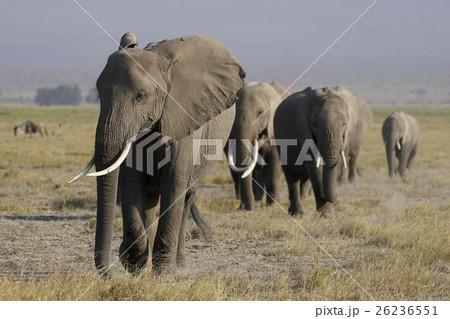 アフリカゾウ 26236551