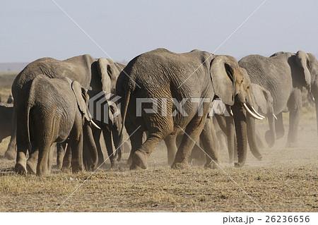 アフリカゾウ 26236656