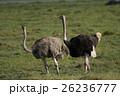 ダチョウ 野生動物 鳥類の写真 26236777