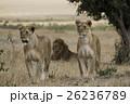 ライオン ネコ科 哺乳類の写真 26236789