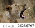 ライオン 26236797