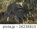 ライオン ネコ科 肉食獣の写真 26236815