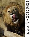 ライオン ネコ科 哺乳類の写真 26236824