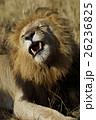 ライオン 26236825