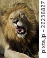 ライオン 26236827
