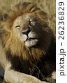 ライオン 26236829