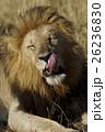 ライオン ネコ科 肉食獣の写真 26236830