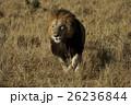 ライオン ネコ科 哺乳類の写真 26236844