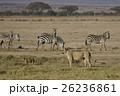 ライオン ネコ科 哺乳類の写真 26236861