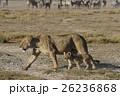 ライオン 26236868