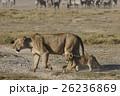 ライオン ネコ科 哺乳類の写真 26236869