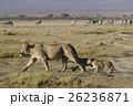 ライオン ネコ科 マサイマラ国立保護区の写真 26236871