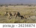 ライオン 26236874