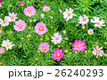 Cosmos flower white pink field 26240293