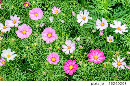 Cosmos flower white pink field 26240293