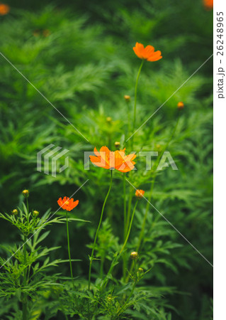 Orange cosmos flower 26248965