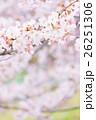 桜 そめいよしの さくら クローズアップ 接写 コピースペース 26251306