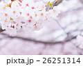 桜 そめいよしの さくら クローズアップ 接写 コピースペース 26251314