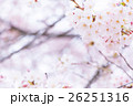 桜 そめいよしの さくら クローズアップ 接写 コピースペース 26251316
