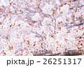 桜 そめいよしの さくら クローズアップ 接写 コピースペース 26251317