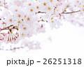 桜 そめいよしの さくら クローズアップ 接写 コピースペース 26251318
