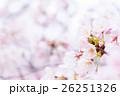 桜 そめいよしの さくら クローズアップ 接写 コピースペース 26251326
