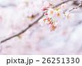 桜 そめいよしの さくら クローズアップ 接写 コピースペース 26251330