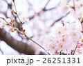 桜 そめいよしの さくら クローズアップ 接写 コピースペース 26251331