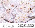 桜 そめいよしの さくら クローズアップ 接写 コピースペース 26251332