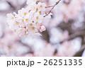 桜 そめいよしの さくら クローズアップ 接写 コピースペース 26251335