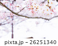 桜 そめいよしの さくら クローズアップ 接写 コピースペース 26251340
