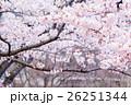 桜 そめいよしの さくら クローズアップ 接写 コピースペース 26251344