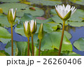 White lotus 26260406