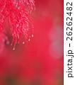 雨(雪)に濡れた枝垂れモミジ 26262482