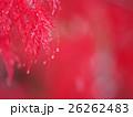 雨(雪)に濡れた枝垂れモミジ 26262483