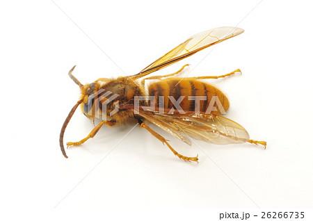 キイロスズメバチ(ケブカスズメバチ) 攻撃性強く刺傷例の多いスズメバチ 26266735
