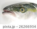 ブリ(鰤)の幼魚 頭部 イナダ 出世魚の若魚の名称 26266934