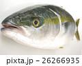 ブリ(鰤)の幼魚 イナダ 俯瞰横 出世魚の若魚の名称 26266935